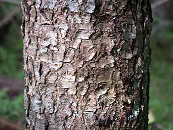 Image from Prunus Serotina Bark